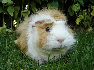 English: Guinea pig (Cavia porcellus)