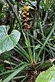 Guzmania weberbaueri (Bromeliaceae) (30024344192).jpg
