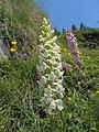 Gymnadenia conopsea (34648195601).jpg