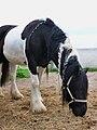 Gypsy Vanner Horse black and white.JPG