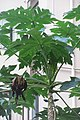 HK 上環 Sheung Wan 裕林臺 U Lam Terrace 木瓜樹 papaya tree October 2017 IX1 03.jpg