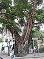 HK SYP 西營盤 Sai Ying Pun 高街 High Street 英皇佐治五世公園 green leaves banyan tree near 東邊街 Eastern Street April 2020 SS2 05.jpg