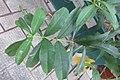 HK Sheung Wan 老沙路街 Rozario Street plant Allamanda schottii cross green leaves October 2017 IX1 02.jpg
