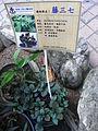 HK Sheung Wan Tung Wah Hospital Chinese plant Anredera Cordifolia Aug-2012.JPG
