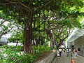 HK TST Nathan Road green Sidewalk Chinese Banyan trees Aug-2015 DSC (6).JPG