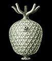 Haeckel Amphoridea-5.jpg