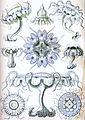 Haeckel Discomedusae 18.jpg