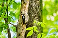 Hairy woodpecker (26553206332).jpg