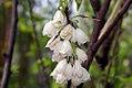 Halesia tetraptera 7zz.jpg