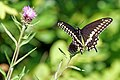 Halifax DSC08393 - Black Swallowtail (35522495873).jpg