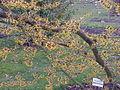 Hamamelis japonica3.jpg
