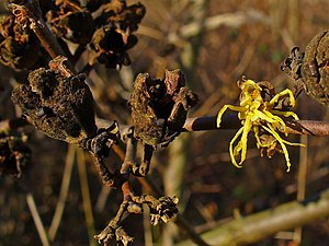 Hamamelis virginiana -  Hamamelis virginiana, Flower and fruit