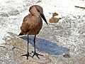 Hamerkop (Scopus umbretta) (6035836990).jpg