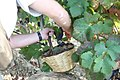 Hand harvesting wine grapes.jpg