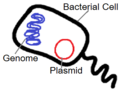 Hartsock Genetic Engineering Bacteria Plasmid.png