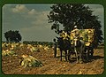 Harvesting burley.jpg