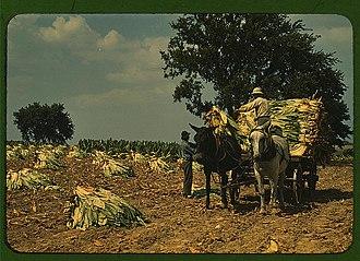 Burley (tobacco) - Harvesting burley tobacco, 1940