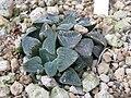 Haworthia pygmaea1.jpg