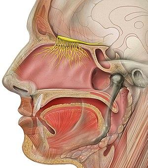 Olfactory tract - Image: Head olfactory nerve