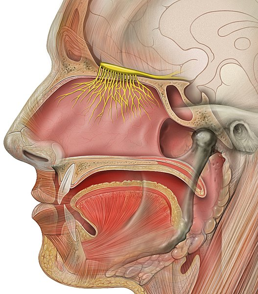 Schematic diagram of a nose.