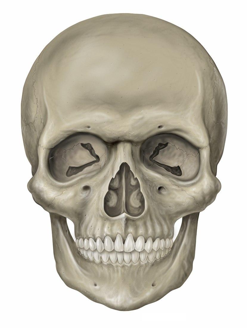 Head skull anterior view