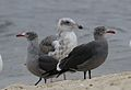 Heermann's gull, Larus heermanni, Moss Landing and Monterey Bay area, California, USA (22805756678).jpg