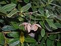 Helianthemum nummularium subsp. tomentosum 2017-09-26 4904.jpg