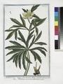 Helleborus niger hortensis flore viridi - Elleboro nero - L'Hellebore noir. (Christmas rose, Green hellbore) (NYPL b14444147-1130589).tiff
