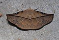 Heterospila nigripalpis (Erebidae- Catocalinae) (23185321105).jpg