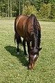Hevoset kesälaitumella 8.jpg