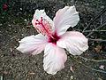 Hibiscus rosa-sinensis C.JPG