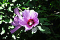 Hibiscus syriacus Hibiscus ხეტუხტი.jpg