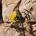 Hieracium murorum-Fleurs-20150413.jpg