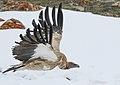 Himalayan Griffon (Gyps himalayensis) (50801063451).jpg