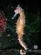 Hippocampus histrix - Thorny Seahorse.jpg