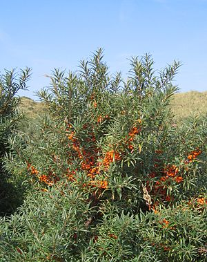 Hippophae rhamnoides - Common sea-buckthorn shrub in the Netherlands
