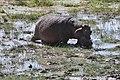 Hippopotamus amphibius 01.jpg