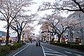 Hitachi Sakura Festival, Ibaraki 11.jpg