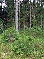 Holovne Liubomlskyi Volynska-nature monument botanical Spruce forest-young trees.jpg