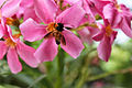 Honey bee on flower 2.JPG