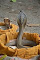 Hooded Cobras - Howrah 2017-12-25 5762.JPG
