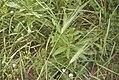 Hordeum vulgare-2992.jpg