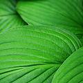 Hosta Fortunei Albopicta leafs.jpg