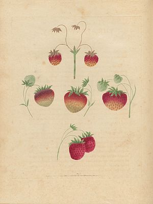 George Brookshaw - Image: Houghton Agr 209.10 Brookshaw, Pomona Britannica, strawberry