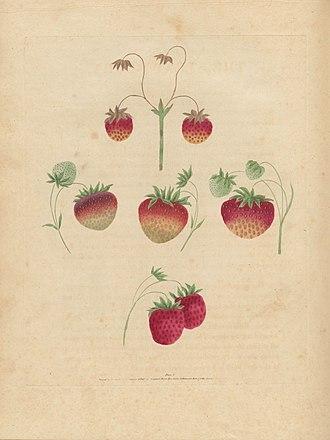 George Brookshaw - Image: Houghton Agr 209.10 Brookshaw, Pomona Britannica, strawberry