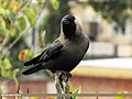 House Crow (Corvus splendens) (15862219956).jpg
