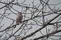 House Sparrow (Passer domesticus), Female.jpg