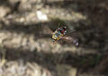 Hoverfly from Ecuador (14774098913).jpg