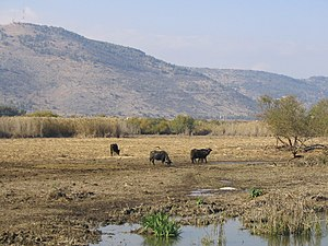 Hula Valley - Water buffalo grazing in Hula Valley