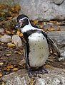 Humboldt-Pinguin Spheniscus humboldti Tierpark Hellabrunn-4.jpg